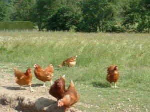 poules-300x225